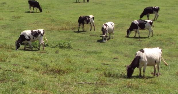 Presidente da Associação de Agricultores da Ilha de São Jorge defende aumento do preço do leite e da produção (c/áudio)