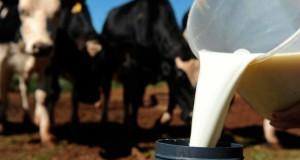 Produtores de leite de S.Jorge recebem mais dois cêntimos por litro a partir de outubro fruto da sazonalidade que regula os preços na ilha (c/áudio)