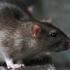 Governo e autarquias dos Açores acordam medidas para reforço do combate a roedores