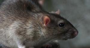 Sessões informativas sobre controlo integrado de roedores decorrem este mês no Faial, Graciosa, Pico e Terceira e chegam a São Jorge no próximo mês