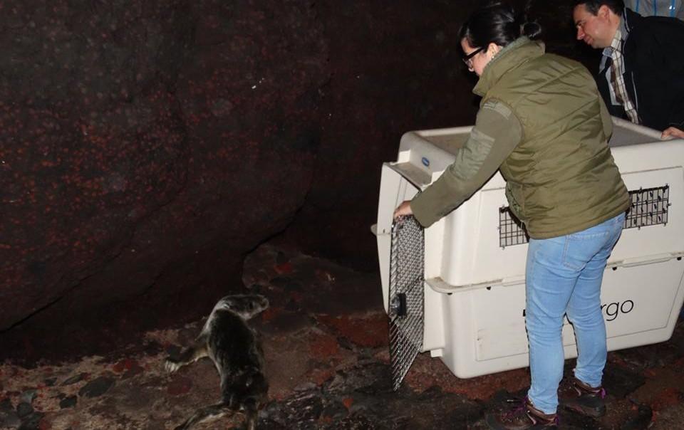 Foca encontrada no Topo esta segunda-feira já foi recolhida e será levada para o seu habitat natural (c/áudio)