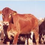 Açores efetuam primeira exportação de bovinos vivos para Marrocos