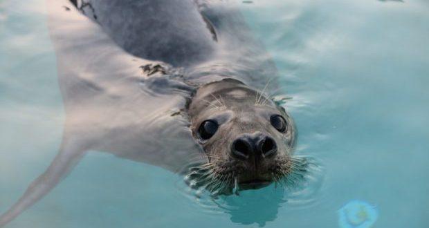 Foca resgatada em São Jorge é hoje devolvida ao seu habitat natural