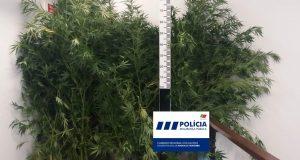 Homem detido no concelho das Velas por tráfico e cultivo de Cannabis
