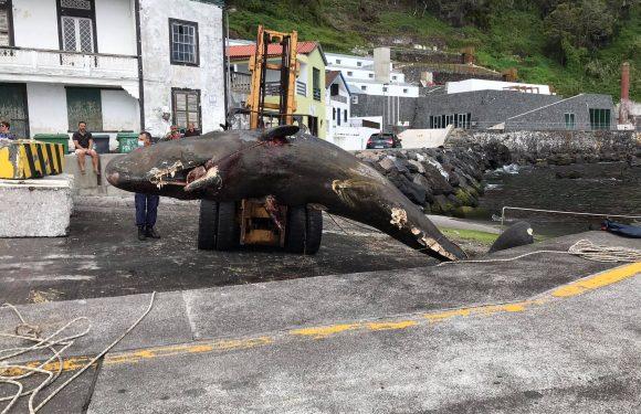 Baleia resgatada no cais da Calheta em São Jorge