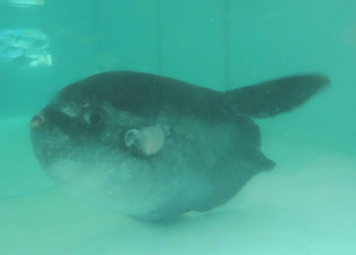 Peixe-Lua com 1,80 metros e de mais de uma tonelada de peso recuperado no Faial