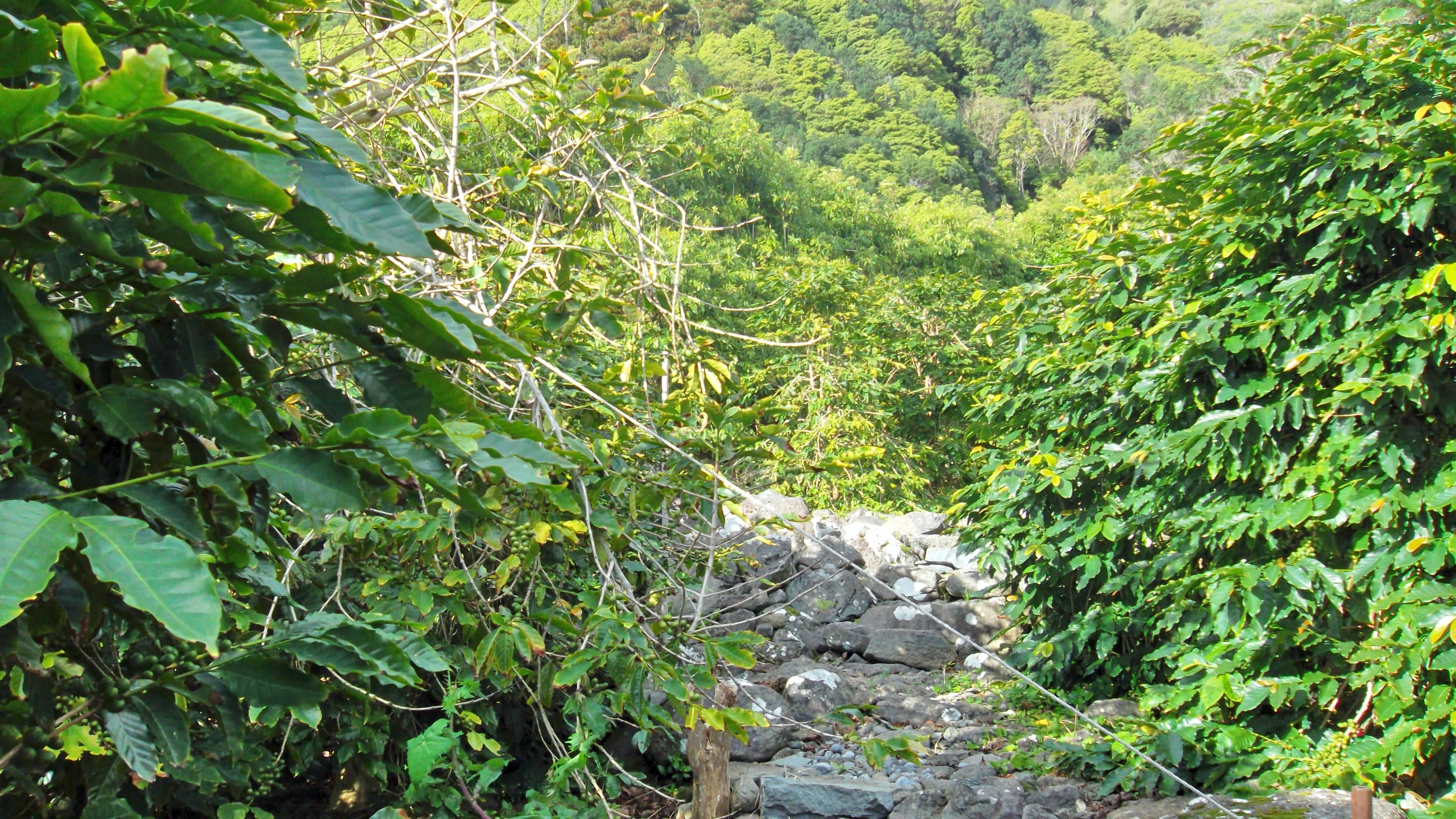 Produtores de café e de inhame nos Açores devem aproveitar apoios existentes na sua plenitude, destacou João Ponte