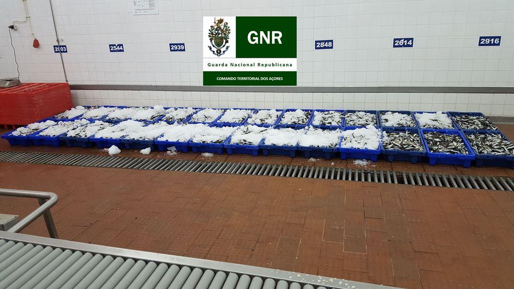 GNR apreende 789 quilos de pescado, na Terceira