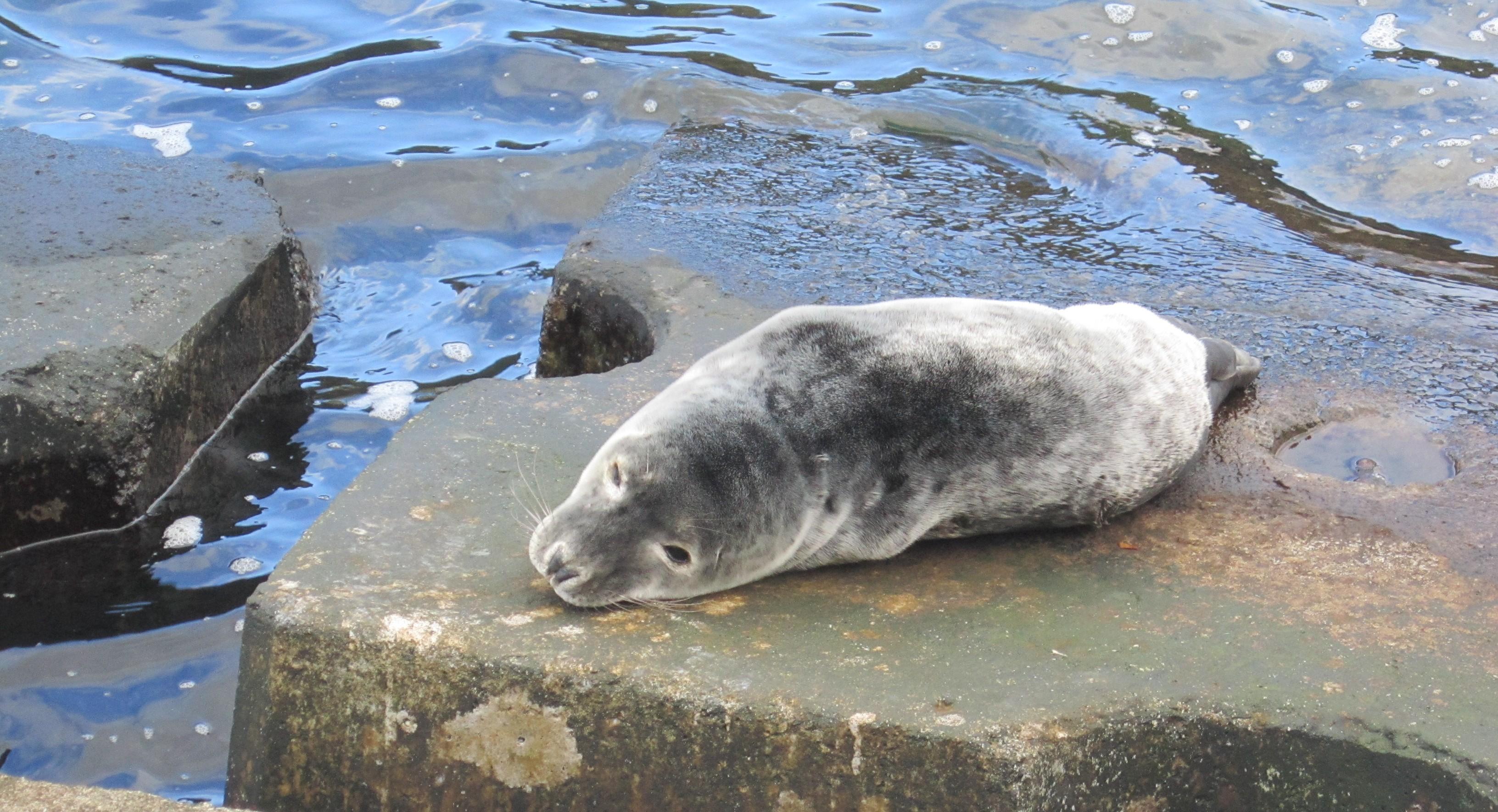 Foca cinzenta tem sido avistada em zonas costeiras do Faial e Pico